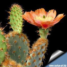 Opuntia engelmannii subs. Succulents In Containers, Cacti And Succulents, Planting Succulents, Cactus Plants, Planting Flowers, Opuntia Cactus, Prickly Pear Cactus, Cactus Y Suculentas, Cactus Art