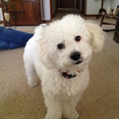 Confusion?!? He's Beautiful, Animals Beautiful, Cute Animals, Bichons, Angels In Heaven, Bichon Frise, Confusion, Sweet Girls, Make Me Smile