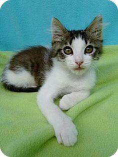 Hermosa Beach, CA - Domestic Mediumhair. Meet Max, a kitten for adoption. http://www.adoptapet.com/pet/13335722-hermosa-beach-california-kitten