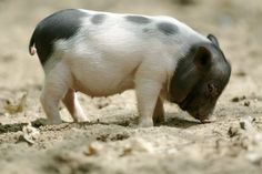 "New air travel rules could mean that pot-bellied pigs, miniature horses and monkeys could all be allowed to travel on planes if they offer passengers ""emotional support"". Awww!!!"