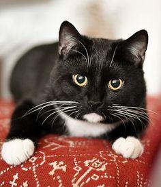 Домашняя Кошка, Приют Для Животных