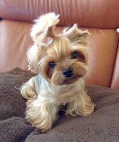 Yorkie Yorkshire Terrier ___ Click the Link in my Bio < and what you will find there use it as a Gift. Cute Teacup Puppies, Teacup Yorkie, Cute Puppies, Cute Dogs, Dogs And Puppies, Teacup Dogs, Baby Dogs, Terrier Puppies, Silly Dogs