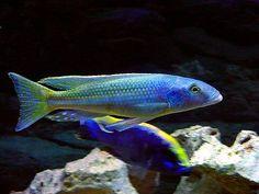 Malawi Cichlids, African Cichlids, Cichlid Aquarium, Aquarium Fish, Tropical Aquarium, Tropical Fish, Victoria Lake, Lake Tanganyika, Fish Breeding