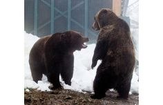 Grouse's resident Grizzly bears Grinder and Coola have woken up after a 158-day hibernation, apparently their longest winter sleep ever