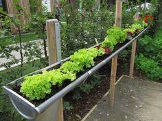 Salaatti kasvaa vesikourussa