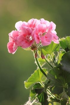 Hibiscus, Spring, Pink Flowers, Home And Garden, Herbs, Beautiful, Rose, Green, Nature