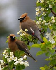These dreamy birds visit us each spring...they love our apple blossoms...so sweet...cedar waxwings