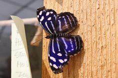 Purple Butterfly @ Chicago Botanic Garden (Glencoe, IL) » 2012/07/08