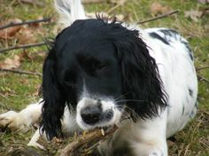 Kaiser the English Springer Spaniel chewing the prunings