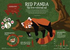 Red panda infographic by Jun Chou