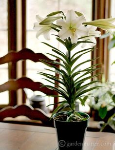 Easter Lily plant ~ Easter Lilies ~ gardenmatter.com
