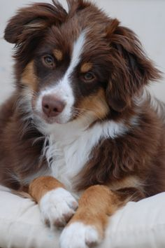 Mini Aussie Red Tri. Looks alot like my Scooby and he looks at me just like this when I talk to him