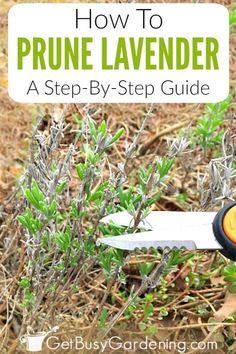 Pruning Lavender: A Step-By-Step Guide