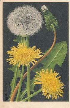 "Dandelion salve ""Most of the dandelions had changed from suns into moons.""  ― Vladimir Nabokov"
