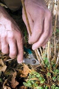 Cleaning up the garden in the fall can be a bit confusing, especially when it comes to cutting back perennials. Should you leave them alone or cut them back as soon as they fade? The answer, of course, depends on the plant.