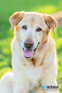 Scotty. He is a 7 year old Yellow Lab. He was rescued from Miami-Dade Animal Services by Labrador Retriever Rescue of Florida. My girlfriend and I fostered him for a little over a month before taking him to his new home. He is really as sweet as he looks in this picture.