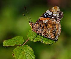 Sobre insectos. Borboleta da ordem Lepidoptera; Joaninha: coleóptero da família Coccinellidae. Podem medir de 1 a 10mm. Alimenta-se de outros tipos de insectos