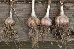 harvest garlic scapes for bigger bulbs - bulb on left scape was left, bulbs on right scapes were removed & eaten