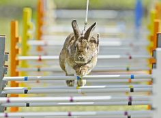 Rabbit-jumping Competition in Germany. I am thinking about teaching George how to do this!