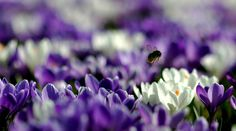 A bee collects pollen from a field of crocuses at Kew Gardens in London.