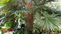 Old Man Palm - Rare Palm - Fresh Seeds - Cocothrinax_crinita_spp. Brevicrinis by SeedsRUs on Etsy