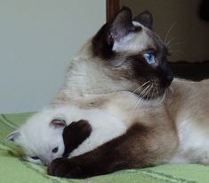 I love how a Siamese transforms from a white kitten to a beautifully marked adult cat....