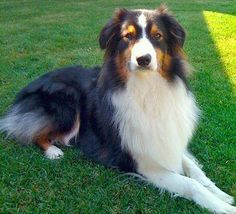 Australian Shepherd Dog Photo | The Australian Shepherd Dog Picture | Canadian Pet Care Wallpapers ...