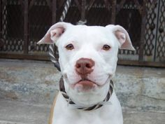 ~~this lovely 18 month old TO BE DESTROYED - 06/21/14 ~~ Brooklyn Center -P  My name is SHIRA. My Animal ID # is A1002702. I am a female tan and white am pit bull ter mix. The shelter thinks I am about 1 YEAR 6 MONTHS old.  I came in the shelter as a OWNER SUR on 06/10/2014 from NY 11436, owner surrender reason stated was PERS PROB.