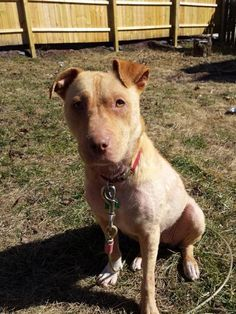 Darci is an adoptable Shar Pei Dog in Anamosa, IA Darci was found chained up outside with a skin condition so bad, she had open wounds.  A concer ... ...Read more about me on @petfinder.com