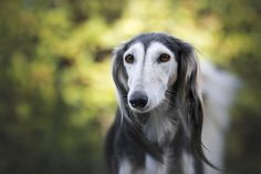 Tani's Doggy Facts. Did you know the Saluki is the world's oldest dog breed. They appear in ancient Egyptian tombs dating back to 2100 B. Beautiful Boys, Bluetick Coonhound, Education Canine, Dog Area, Pet Dogs, Pets, Purebred Dogs, Dog Activities, Pet Search