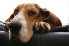 And adorable. | 38 Signs You're A Basset Hound