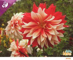 Natural do México, a Dalia é encontrada com vários tipos de pétalas, ou flores, ou inflorescências. A espécie rosada encanta pela sua delicadeza, que por sinal é o significado do seu nome.
