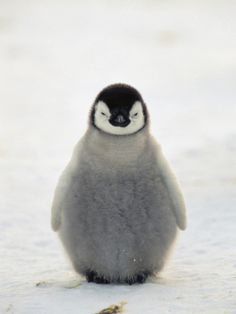 Emperor penguin chick photographed © by Konrad Wothe