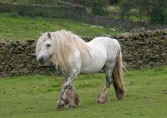 Fell pony stallion Murthwaite Iceman, pictured (C)Jenny Crane Fell Pony, Highland Pony, Horse Breeds, Ponies, Simply Beautiful, Cute Animals, Miniature Horses, Dressage, Tack