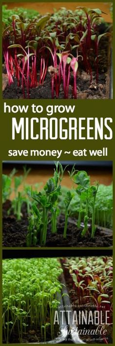 Trendy microgreens are a simple solution to getting more vegetables on your plate this winter. They can run $30-50 a pound at the store; here's how to grow them at home for PENNIES. It's like having a tiny little vegetable garden inside. Garden ~ prepping ~ homestead ~ grow your own ~ seeds ~ vegetables Grow Your Own, Homesteading, Indoor Garden, Seeds, Gardening Tips, Vegetable Garden, Canning, Vegetables, Store