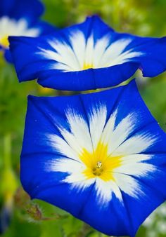 Blue Ensign Morning Glory ~ Flickr