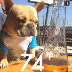 'Chemistry Class', French Bulldog.