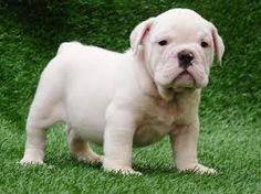 english bulldog puppies - Google Search