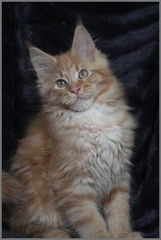 Maine Coons are so photogenic♥