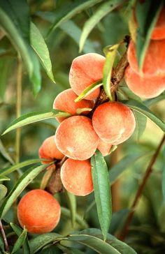 Peaches on the tree free stock photo
