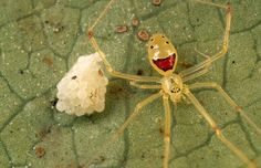 Smiley Face Spider | Community Post: 17 Incredible Insects You Won't Believe Exist