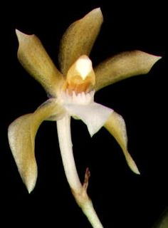 Chaubardia surinamensis - A miniature -sized, hot-growing terrestrial or semi-epiphytic orchid from Venezuela, Guyana, Suriname, French Guiana, Brazil, Colombia, Ecuador, Peru and Bolivia at elevations around 200 to 500 meters in hot tropical lowlands on banks near creeks.