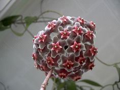 I'm mad of this plant: HOYA!