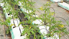 Tipps für eine reiche Tomatenernte | NDR.de - Ratgeber - Garten - Nutzpflanzen