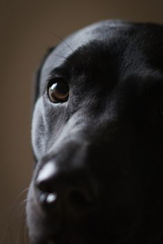 Rocco Black Lab