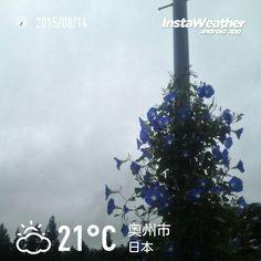 おはようございます! 電柱に朝顔が咲いてました~♪