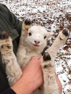 バンザイ子羊