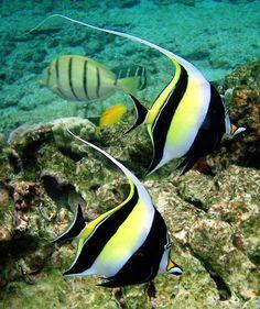 beauty-rendezvous:  Moorish Idol Fish by Brocken Inaglory