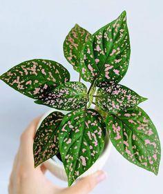 Succulents Garden, Garden Plants, Planting Flowers, Growing Orchids, Growing Plants, Indoor Garden, Indoor Plants, Trees To Plant, Plant Leaves