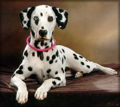 The Dalmatian with one blue eye and one brown eye